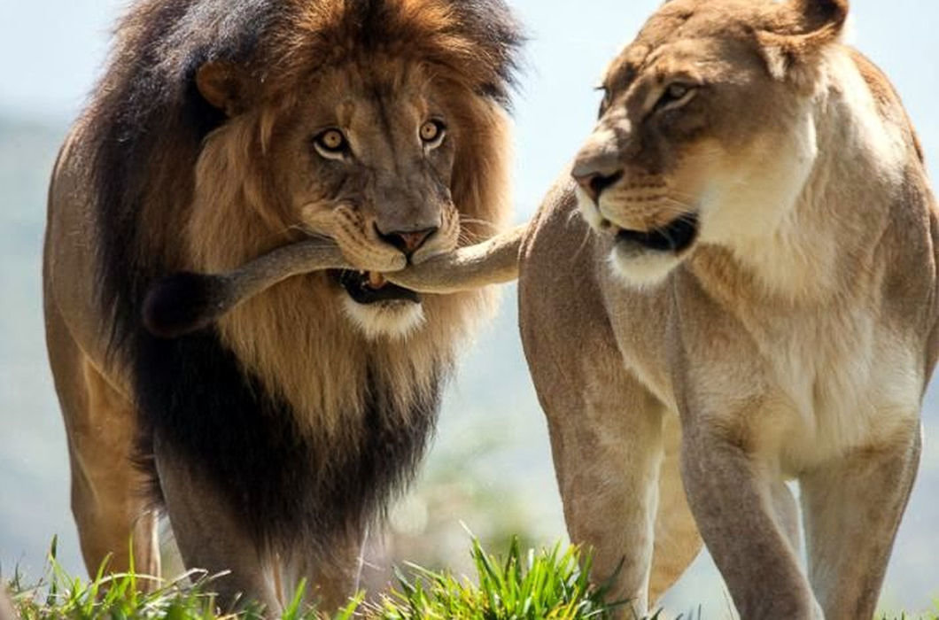 Картинки львов с надписями смешные, месяц