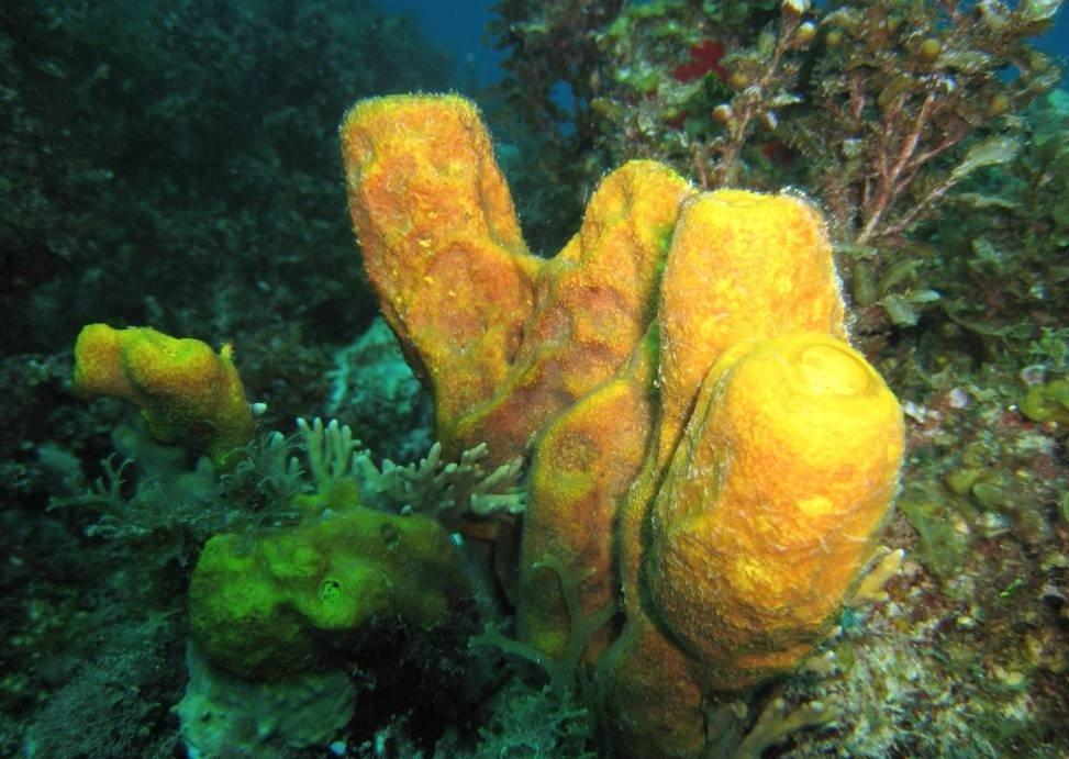 Морские губки фото