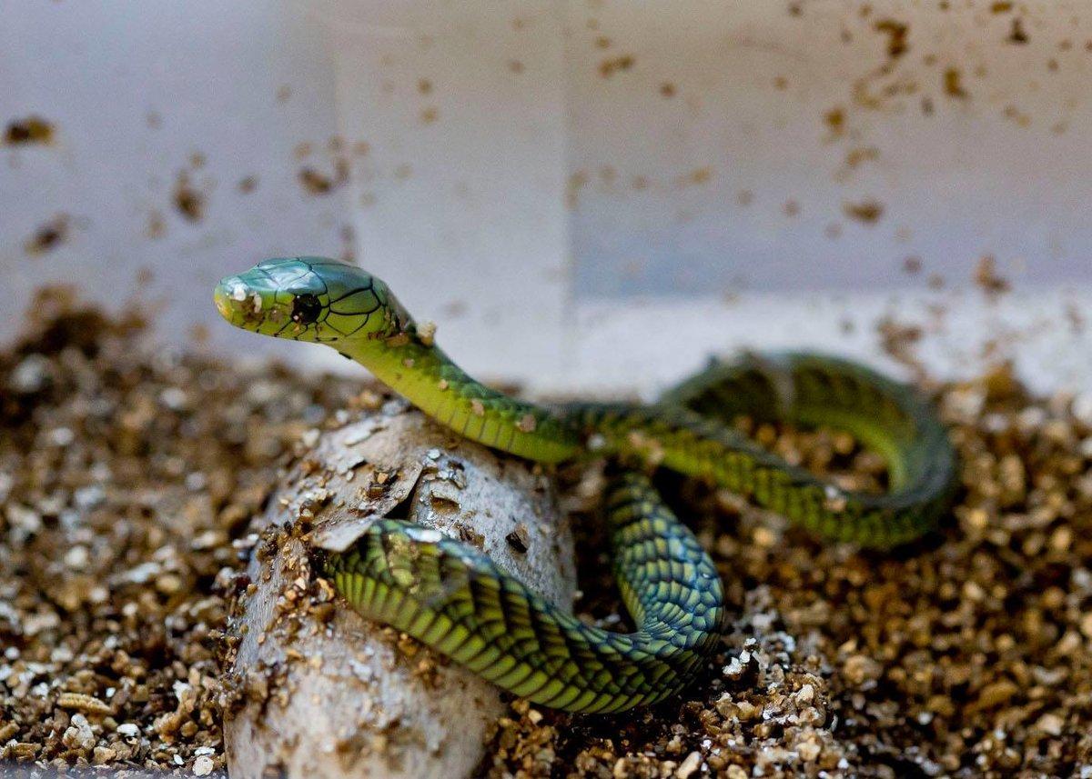 Смотреть змеи зеленая мамба