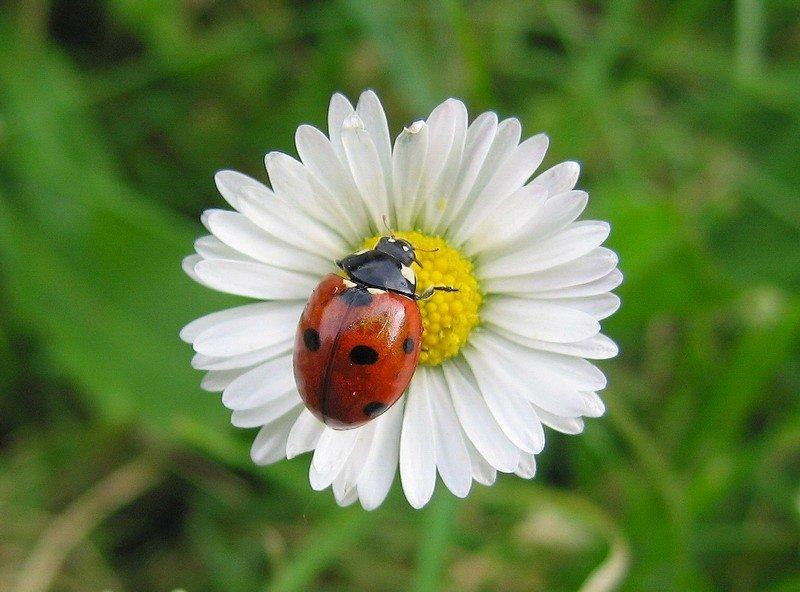 Картинка ромашек и насекомых