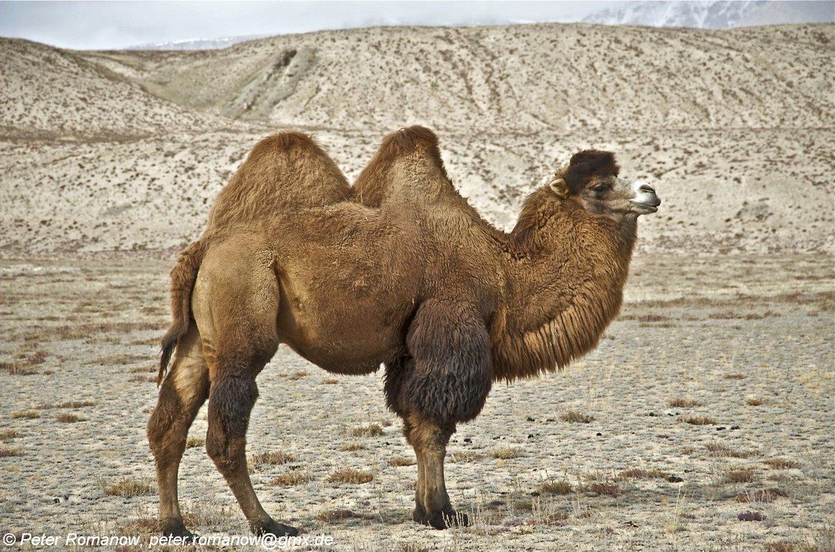 В картинках верблюда