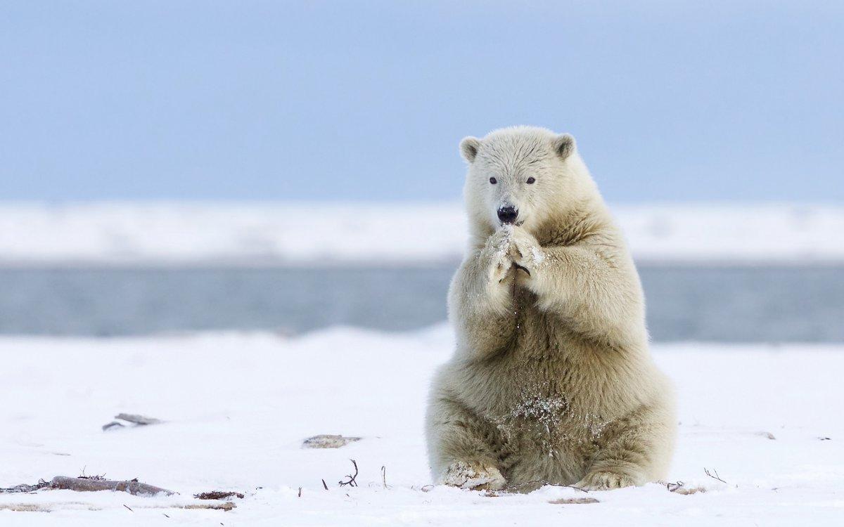 Веселые картинки белые медведи, днем рождения