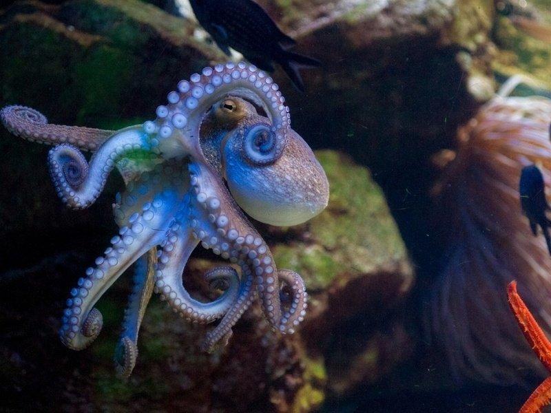 Красивый осьминог картинки