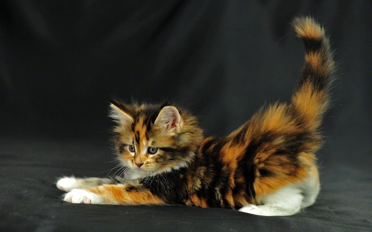 фото трехцветной кошки с котятами