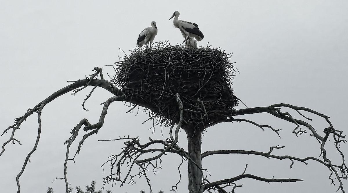 картинка аист в гнезде на дереве множество разнообразных клубов