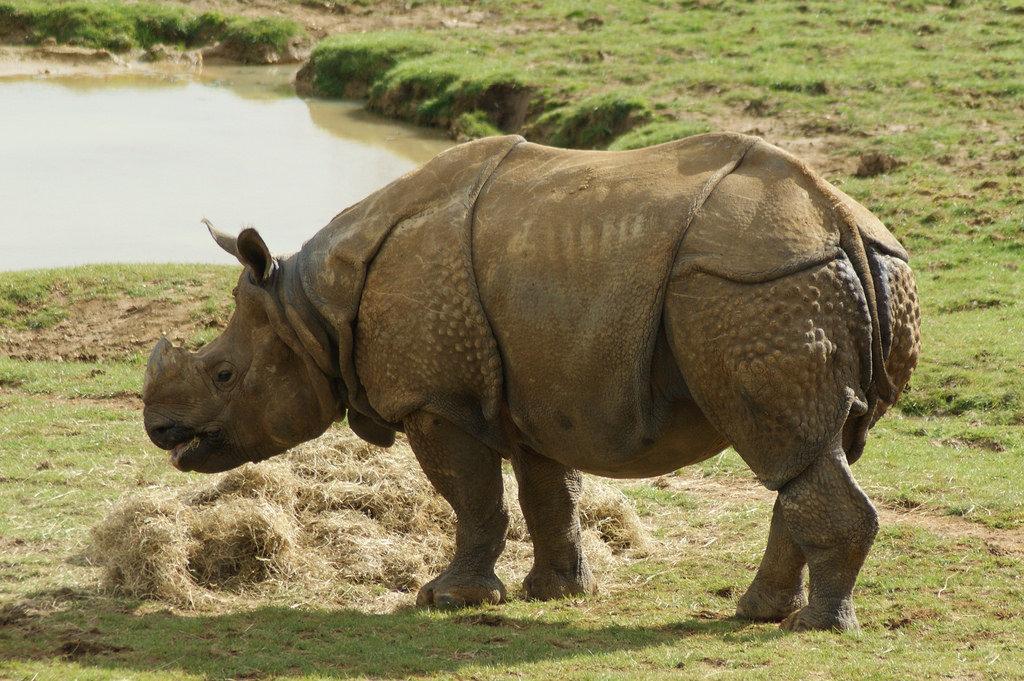 Картинки индийского носорога