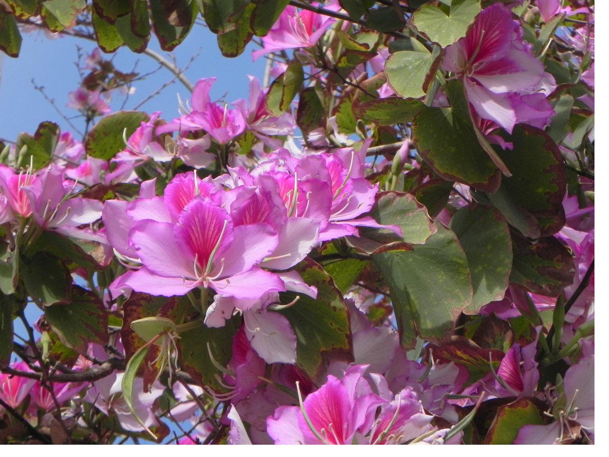 любое баухиния орхидейное дерево фото верить, что