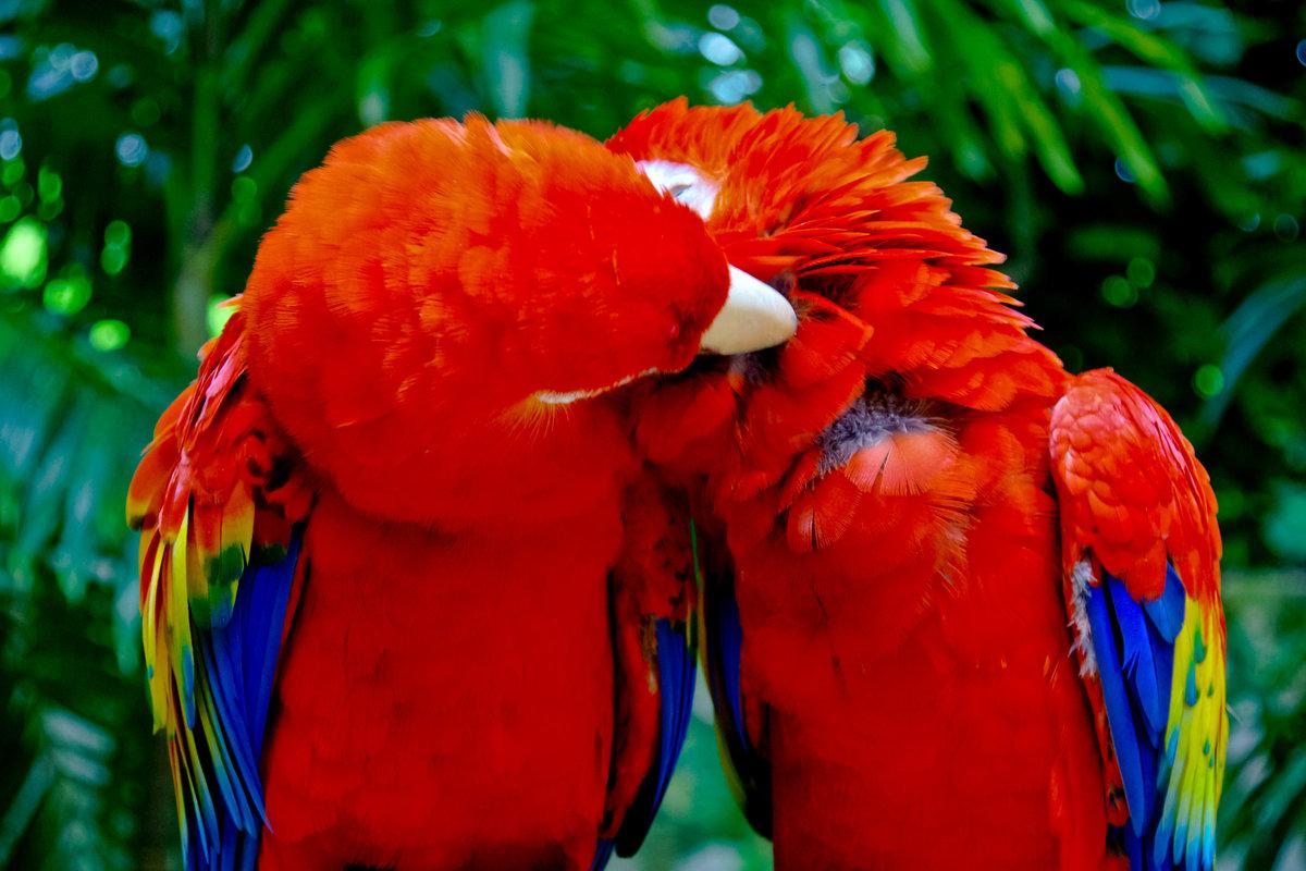 если пошло, попугаи целуются картинки планировка