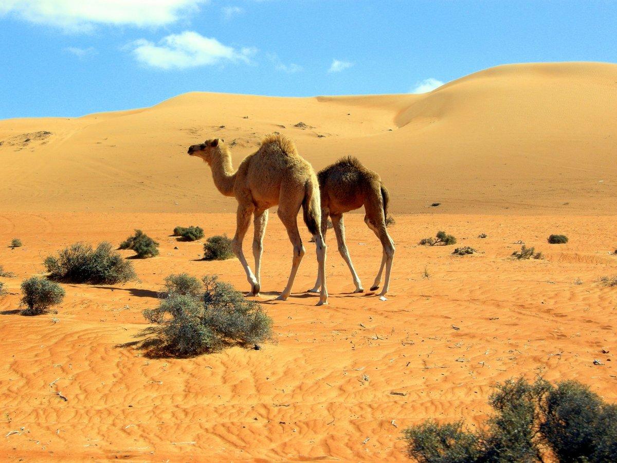 картинка верблюды корабли пустыни косметология