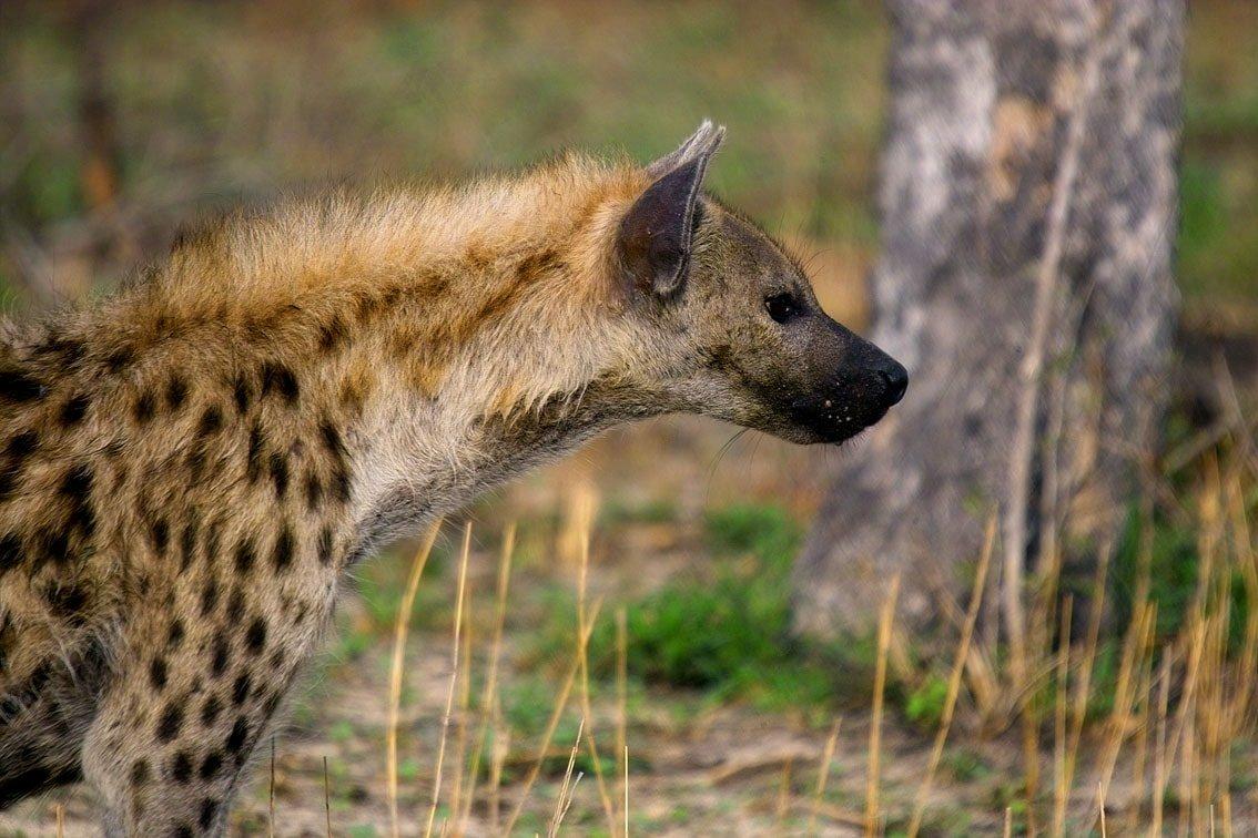 пятнистая гиена самый крупный вид фото день