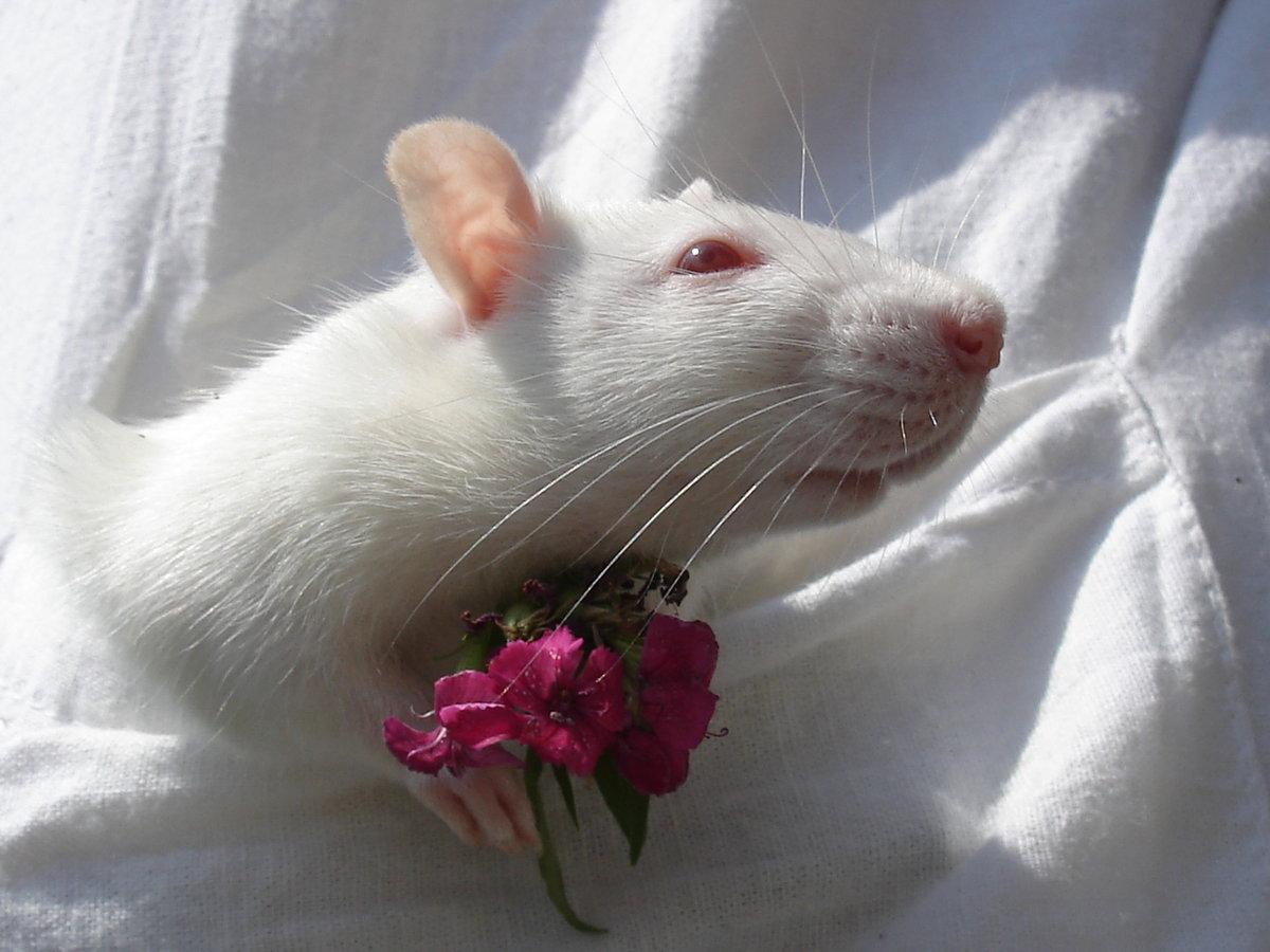 этой крысы красивые фото снова появляются незаменимые