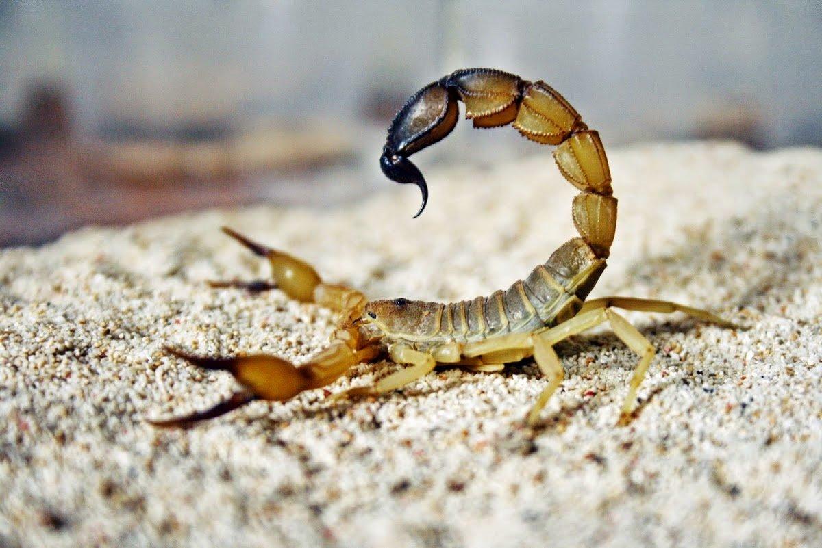 Картинка скорпиона животное