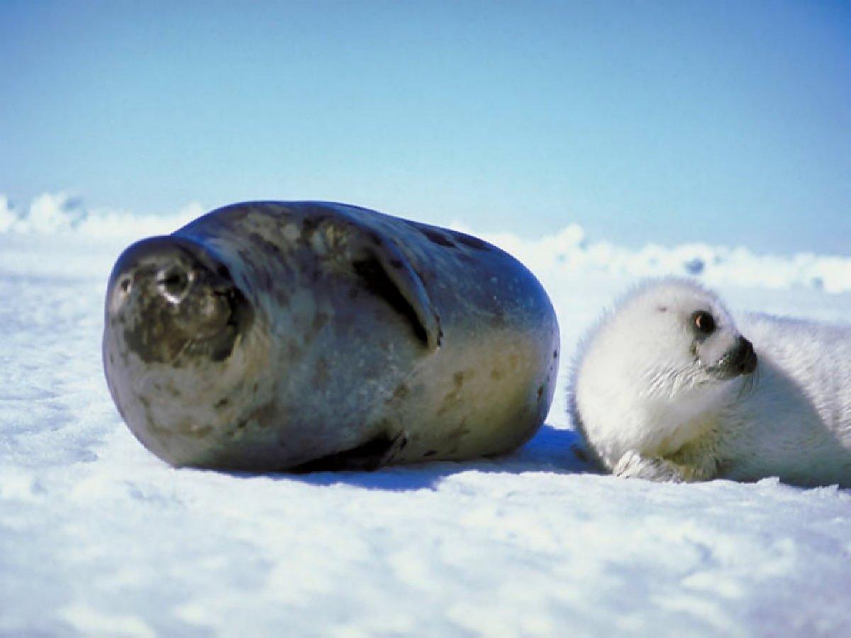 все о тюленях и их картинки сделать шедевр стояло