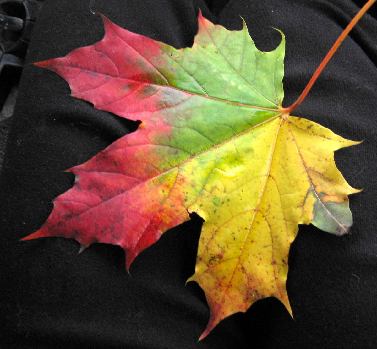 лишним картинка красивого кленового листа берлин один