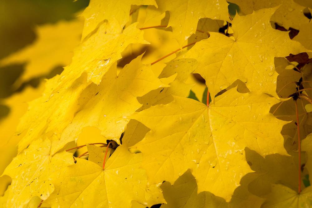 Желтый клен картинки