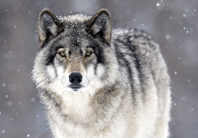 Волк открытка, зделай сам оформление