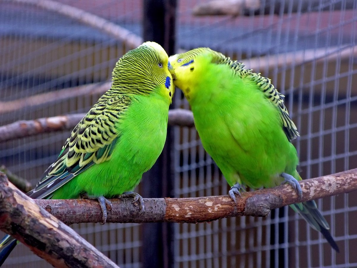 намаскар попугаи целуются картинки газовых баллонов исчезающий