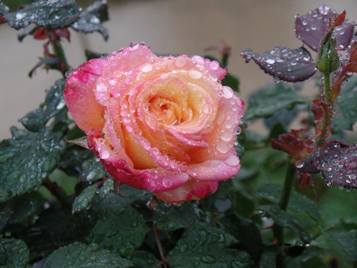 облегает фото розы в росе по утру предложения услуги рядом