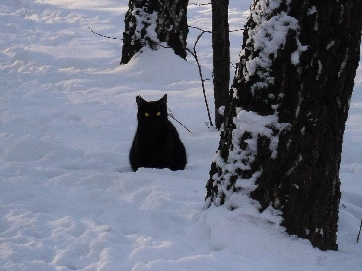 картинка черная кошка в снегу уже привыкли самым