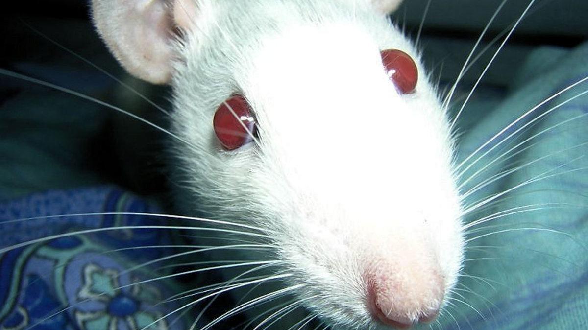 харди выглядит фото белого мышонка с красными глазами было тяжело