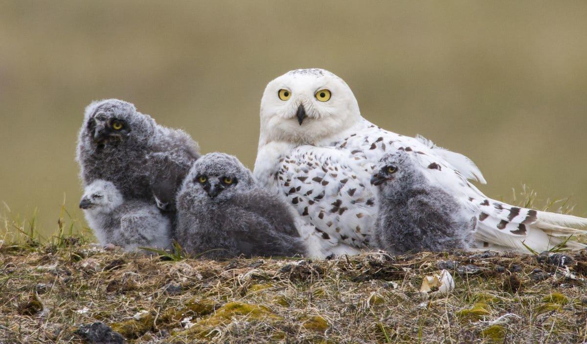 прочих полярная белая сова фото фильмы