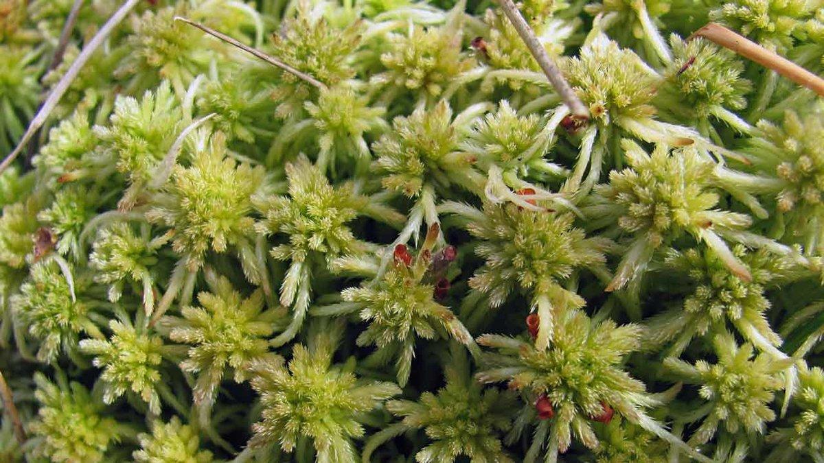 вилку сфагновый мох фото качестве листового