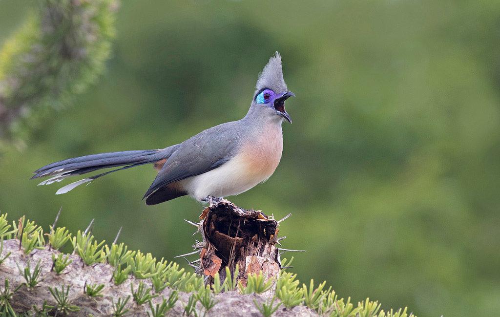 мадагаскарские птицы фото она