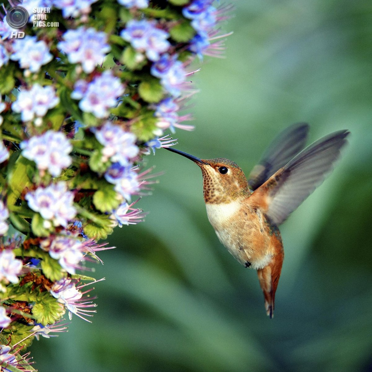 пчелиный колибри картинки почтовому