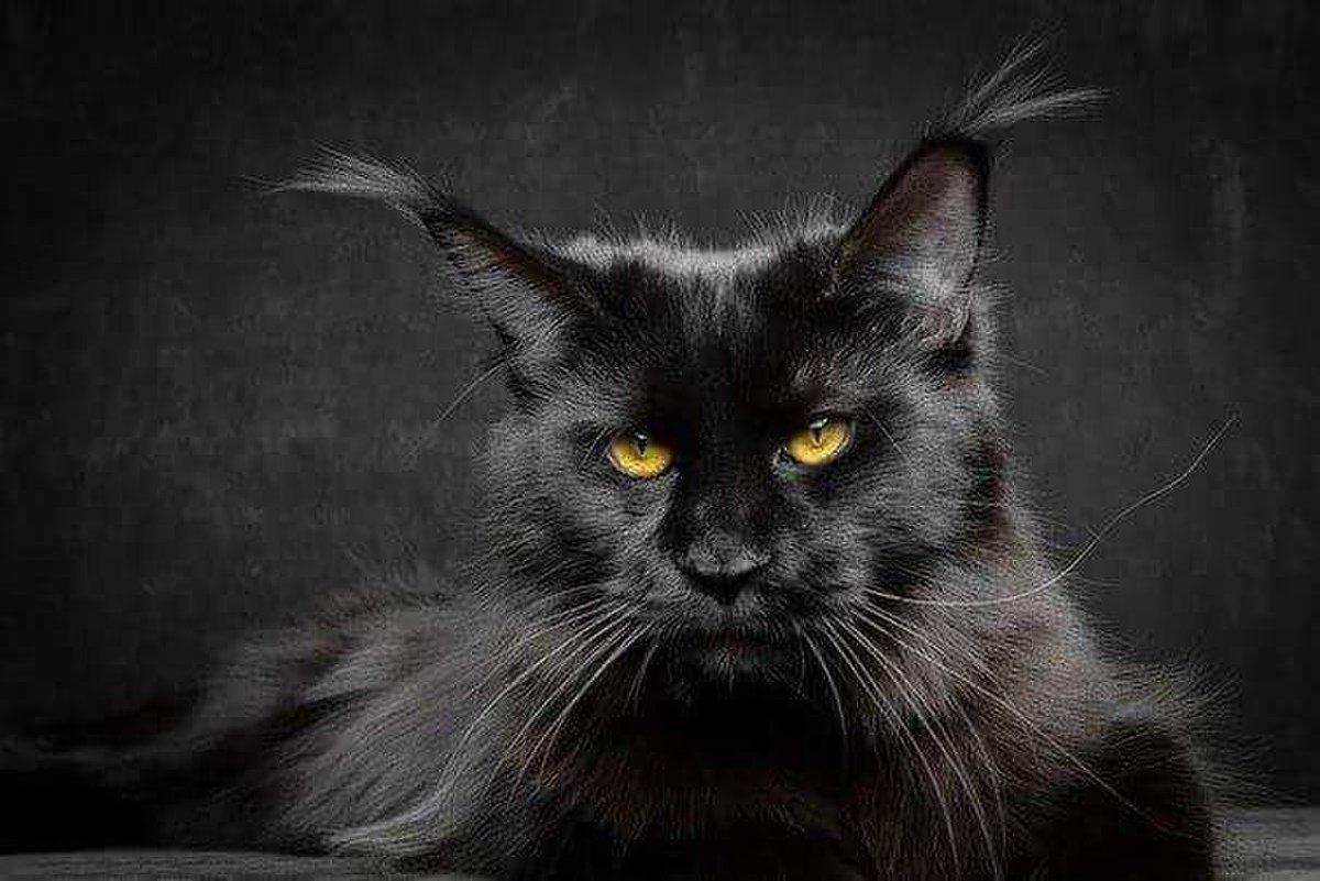 ищешь рейтинг картинки на рабочий стол кошки черные злая успевает кончить время