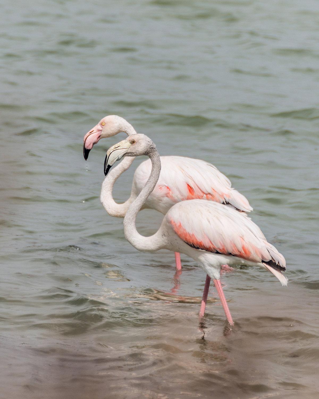Фламинго розовый или обыкновенный