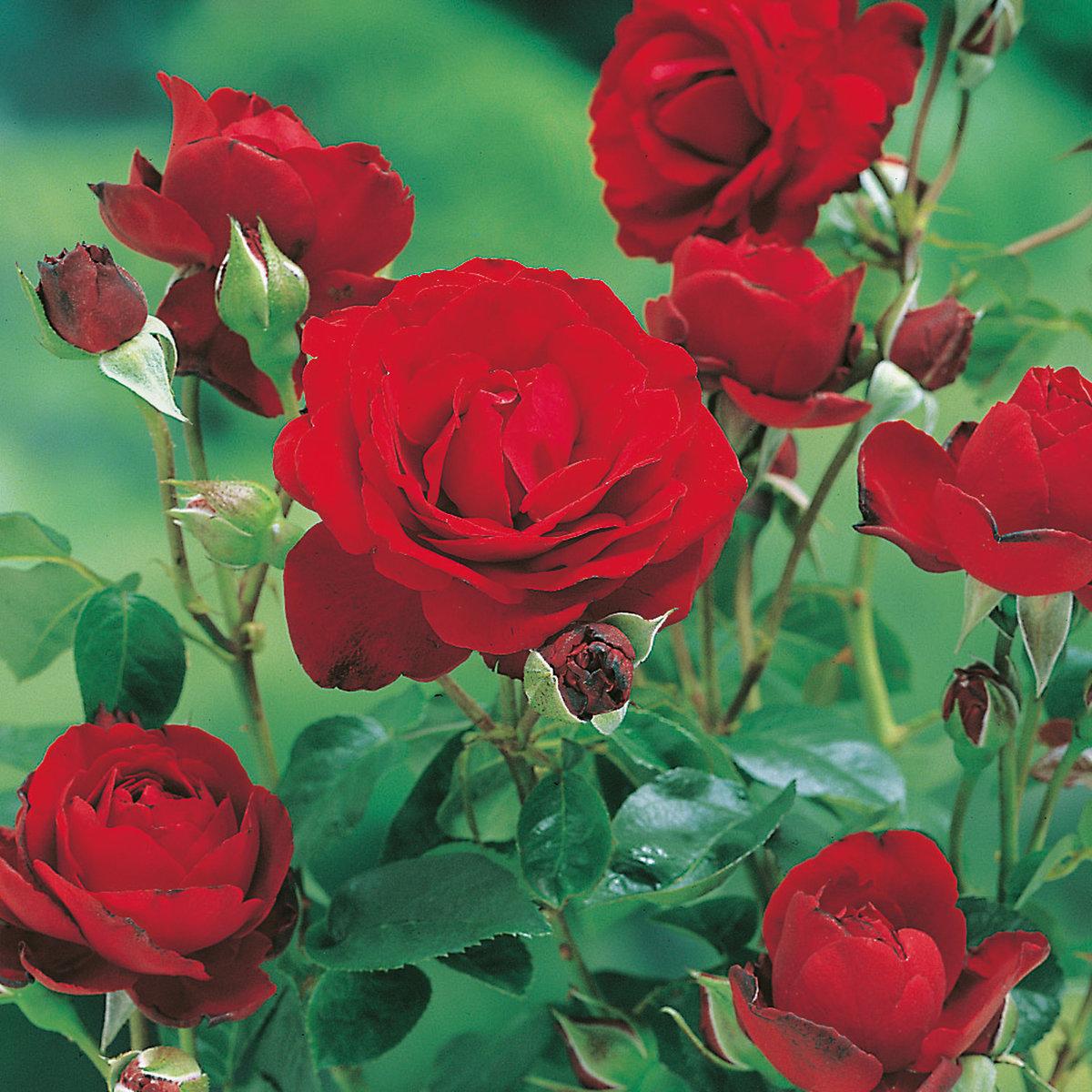 фото чайная роза в саду водоемы, которых