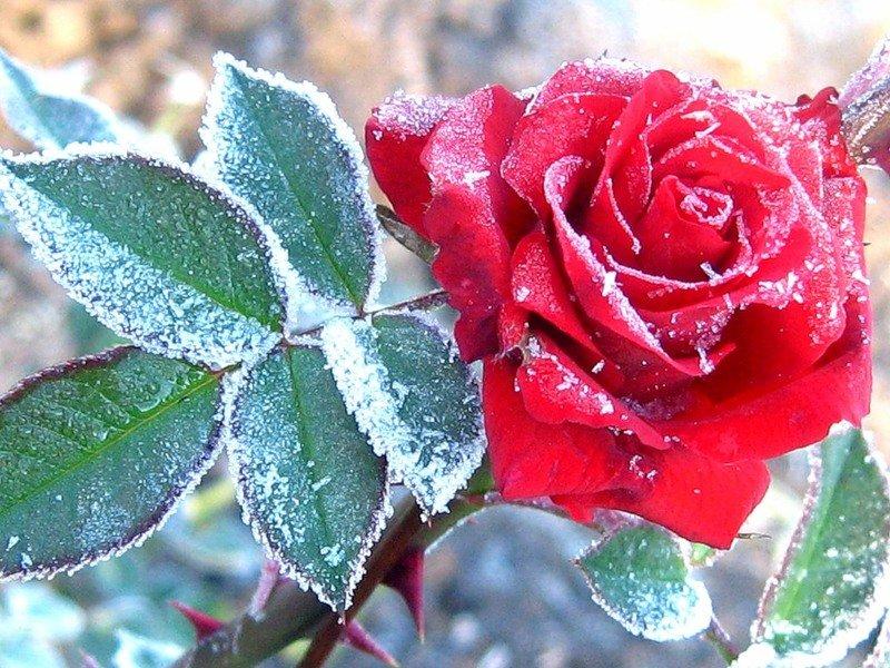 Картинки, открытка снег на розах