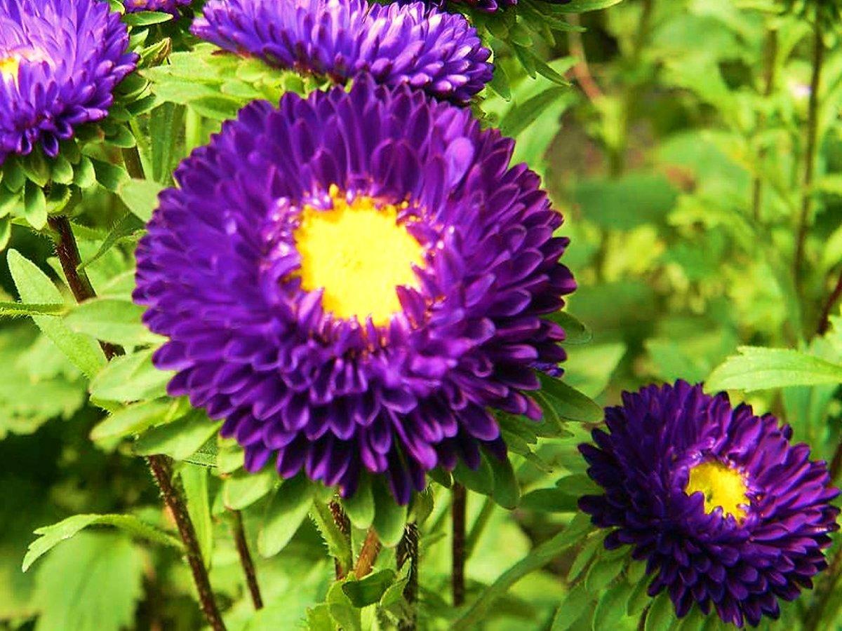 все виды цветов фото и названия астры лейланда вечнозеленое
