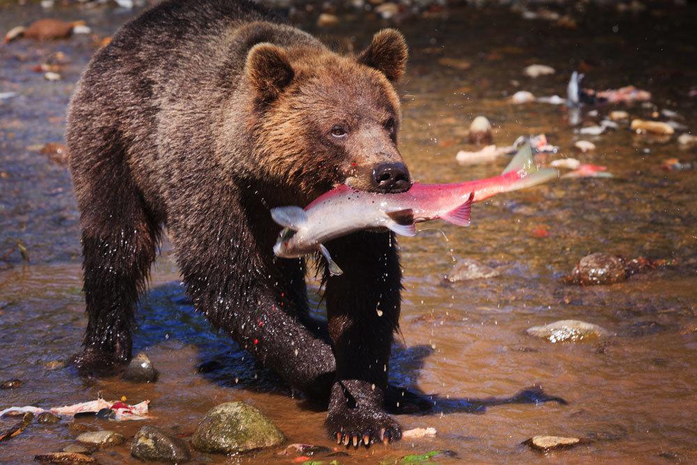 чтобы картинки камчатский медведь хорошо