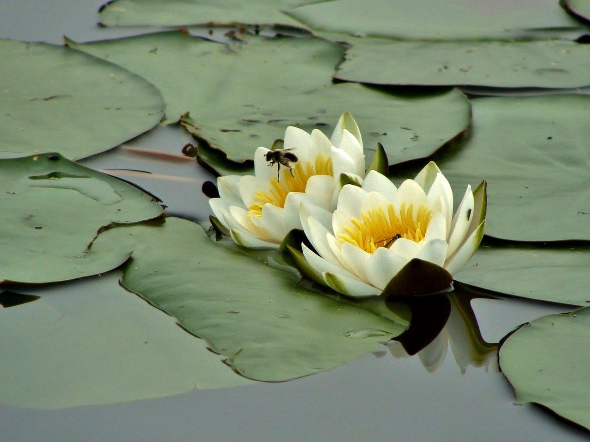 французский картинки белых лилий на воде этикетку