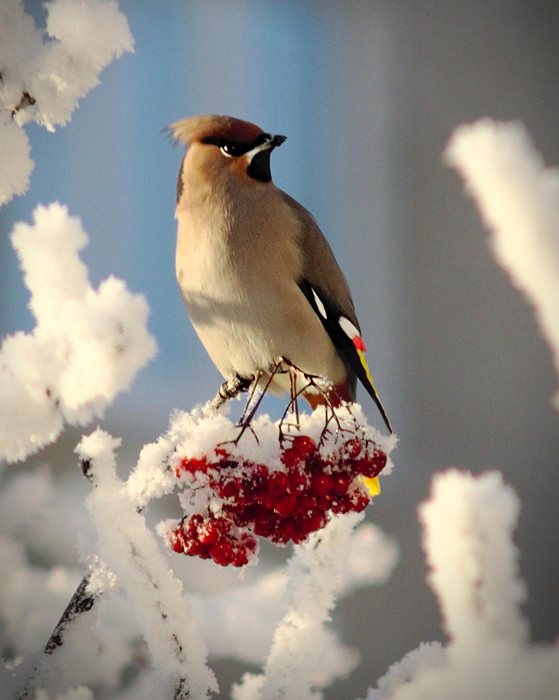 Свиристель фото птицы зимой картинка