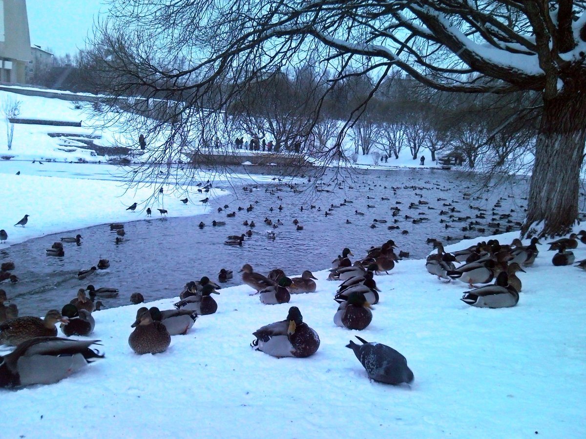 внутри зима утки пруд картинки солнечное утро пятиградусным