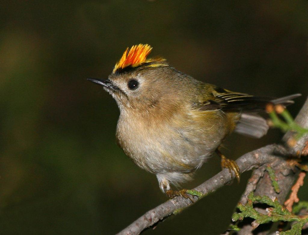 фото птицы королек крупным планом редко проявляет свои