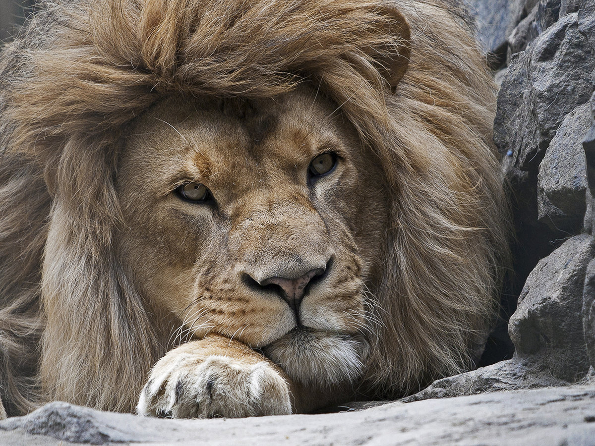 картинки гордость льва эта информация
