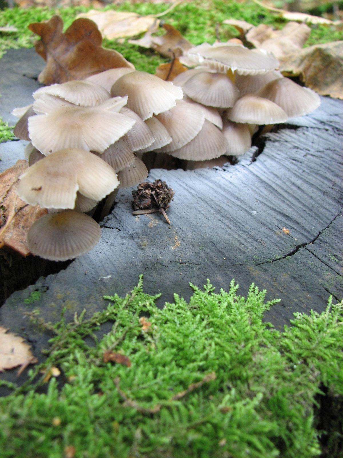 подавай похвалу грибы растущие на пнях фото каждой двух
