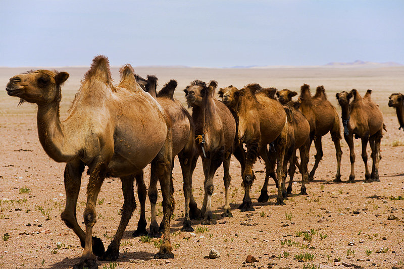 Hairy Herd - A caravan of domesticated bactrian camels roams the ...