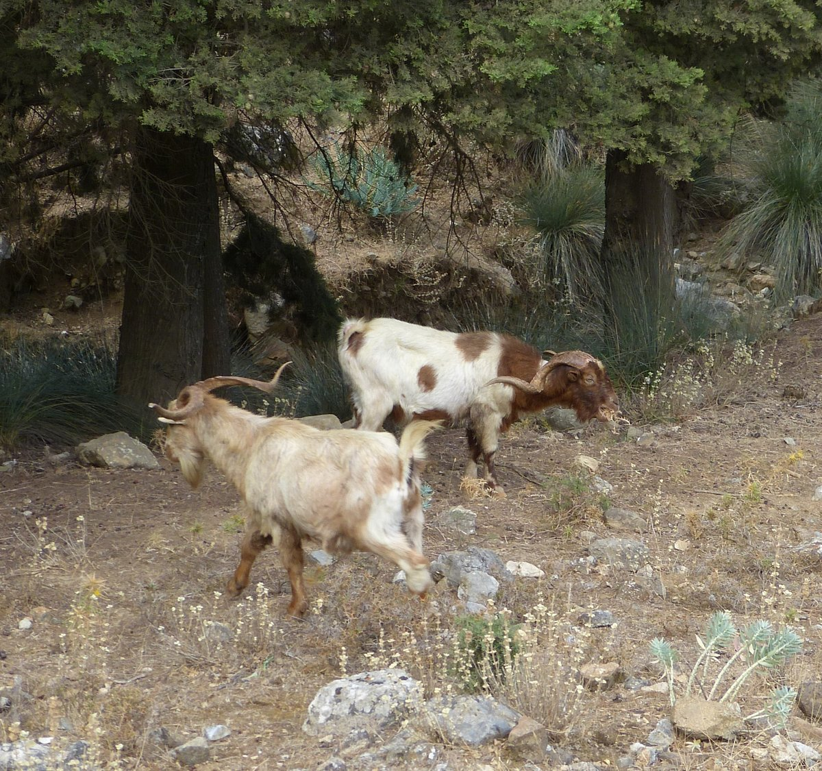 картинки греция козы рассорка
