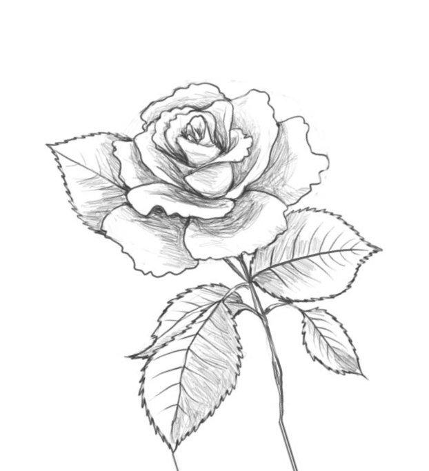 Картинки розы для рисования карандашом для