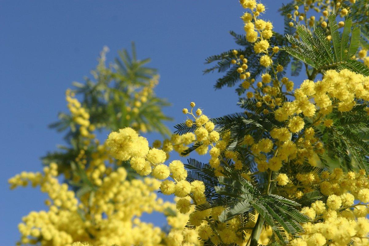 Красивые весенние фото мимозы