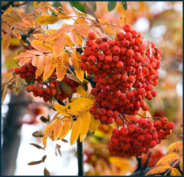 Цветка, открытки с гроздьями рябины