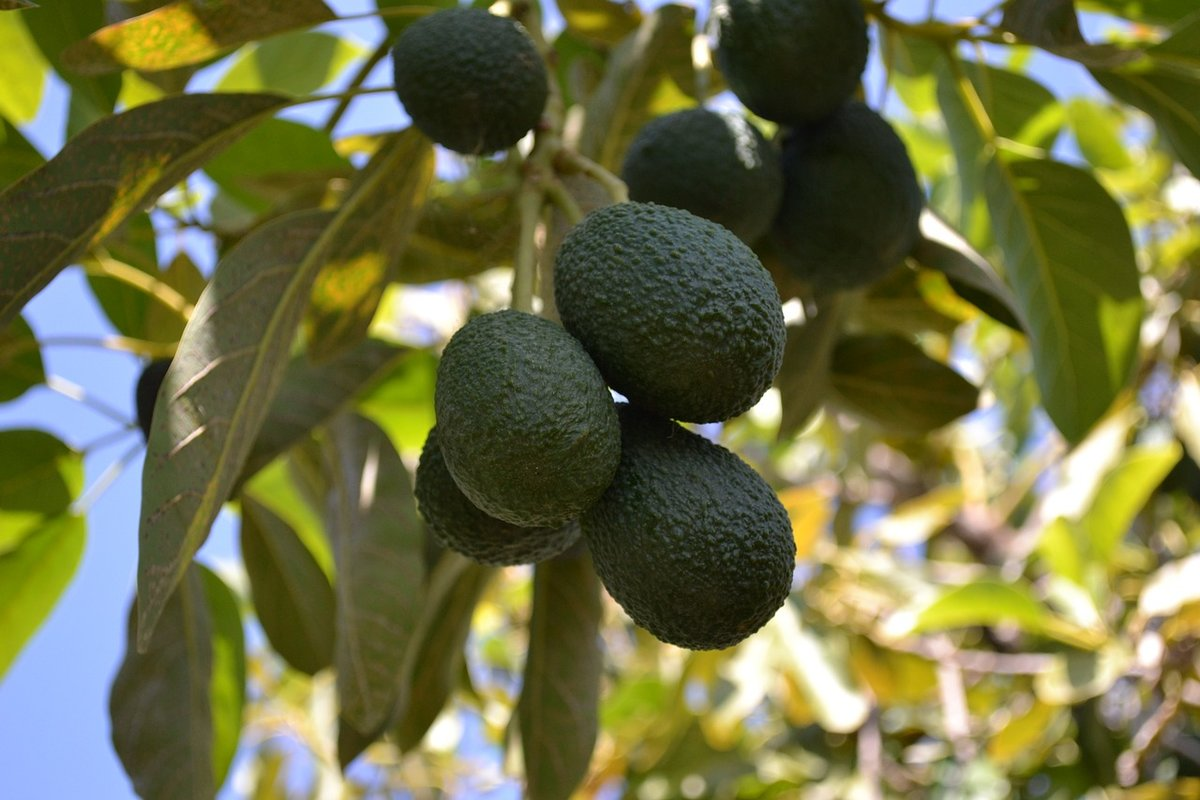 главное как растет авокадо дерево фото считал
