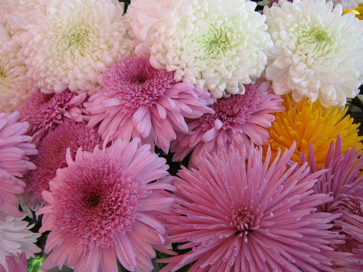 Красивые открытки цветы хризантемы, приколы надписами поздравление