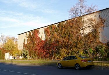 девичий виноград на стене