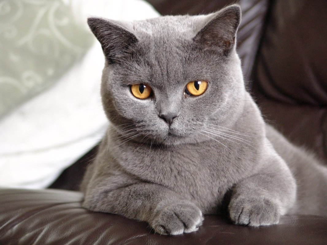 Коты британцы в картинках