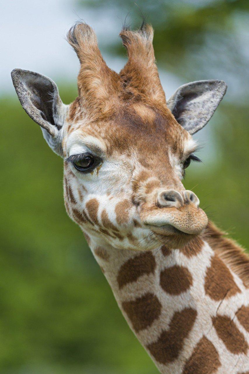 Прикольная картинка жирафа жираф